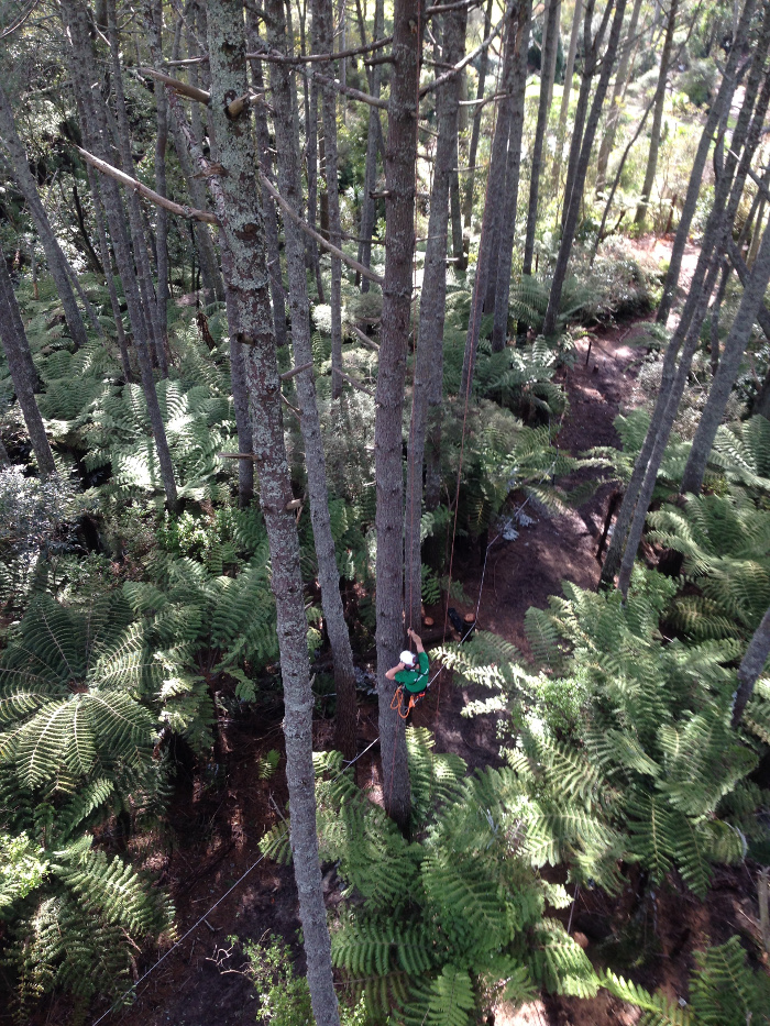 tree pruning pines